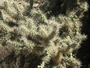 Teddy Bear Cholla