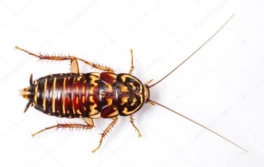 depositphotos_31662597-Harlequin-Cockroach